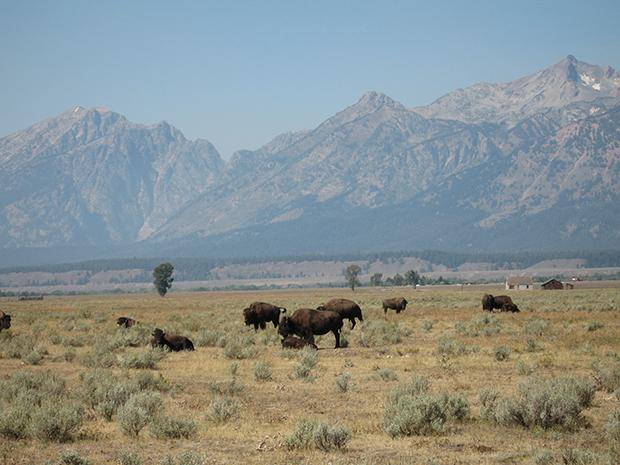 Buffalo-cow-with-calf