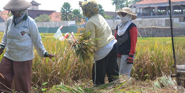Rice_Field_01