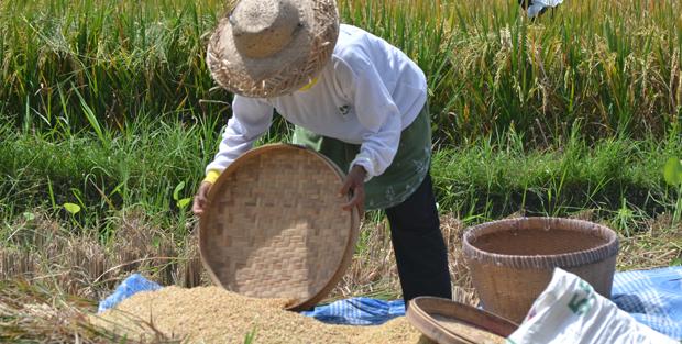 Rice_Field_02