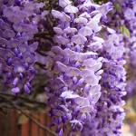 Wisteria Gardens bloom