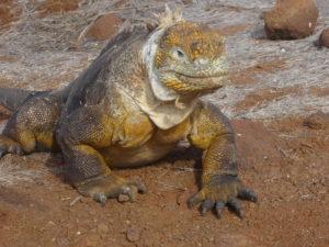 Iguana on Galapagos Island
