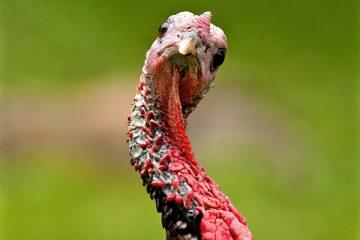 turkey neck