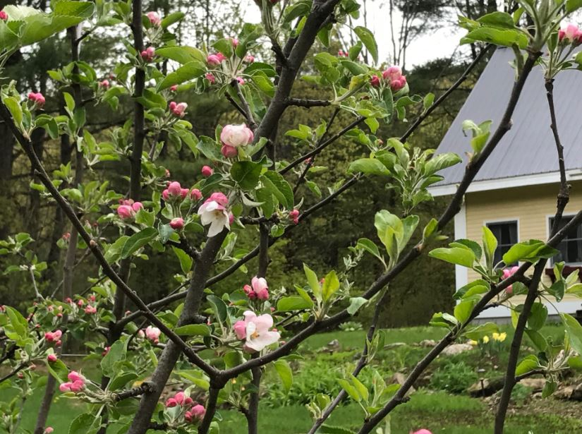 Apple Blooms