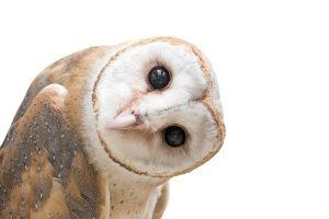 barn owl wisdom