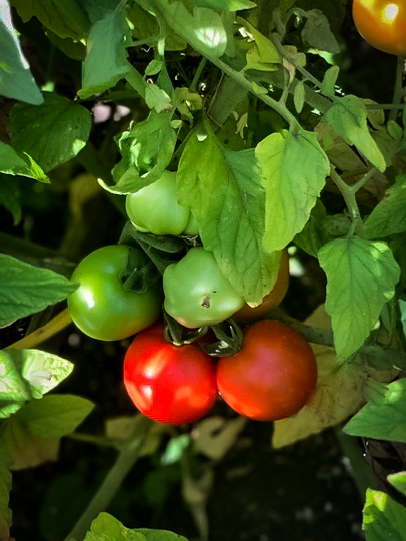 Organic gardening produces the best tasting tomatos