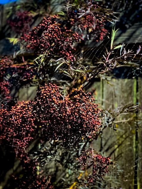 Elderberry Bush organic gardening