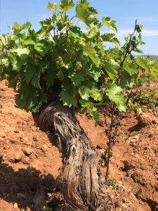 A 60-year old vine at Markou Vineyards