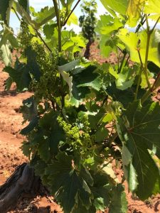 A bud breaks at the Savatiano vineyard