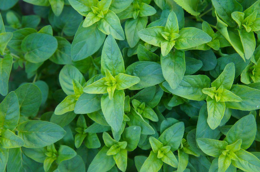 indoor herb gardening: oregano