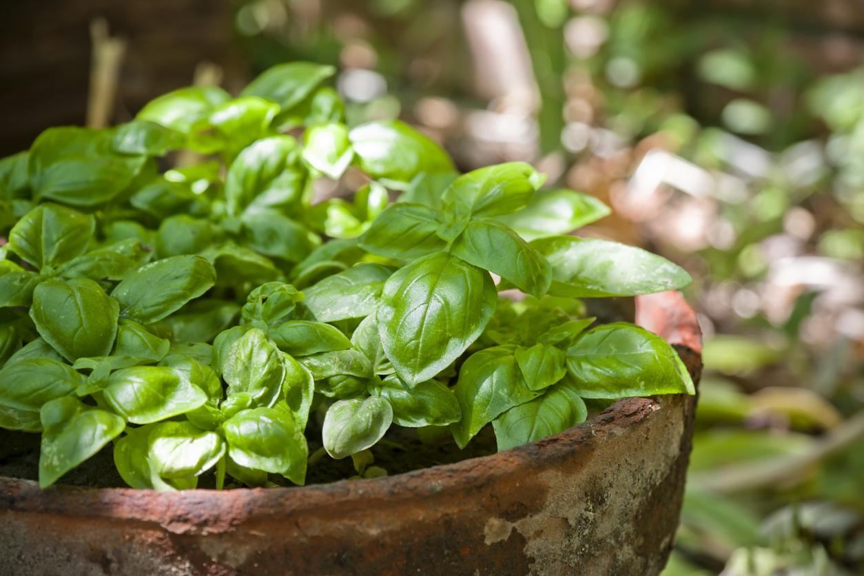 indoor herb gardening: basil