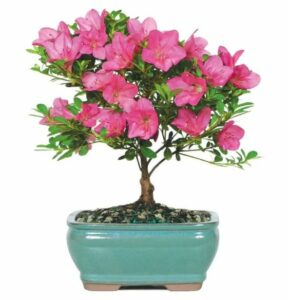 Pink Azalea Bonsai