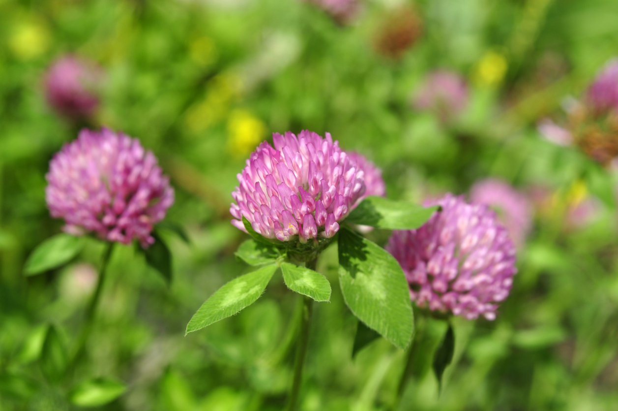 Red Clover herbs and supplements for menopause.
