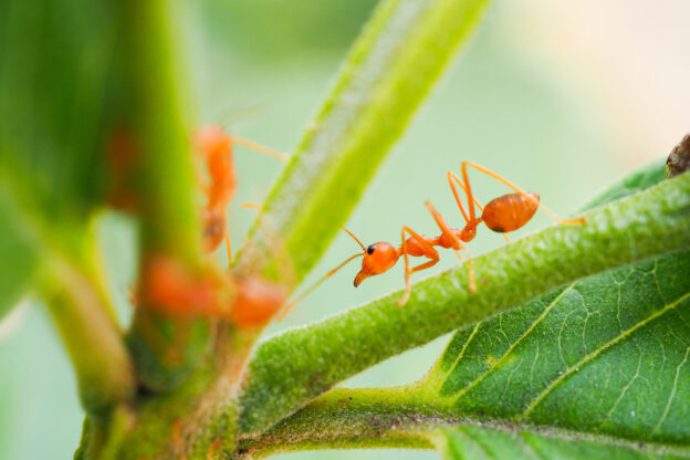 treating fire ant bites